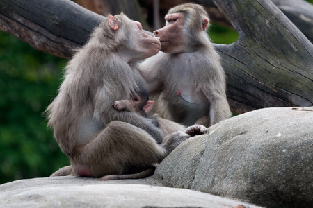 ape: Ape family with baby