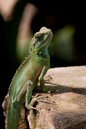 desert lizard: Lizard on a stone Stock Photo