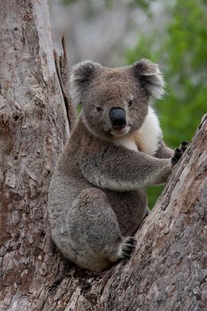 sit around: Koala sit in the tree looking around