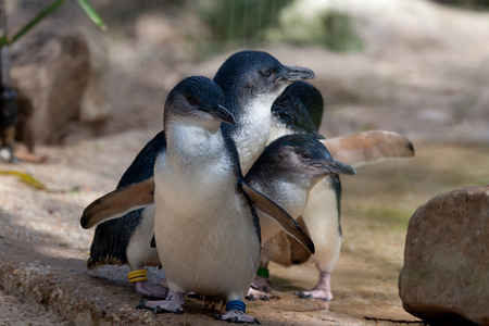 Three little penguin