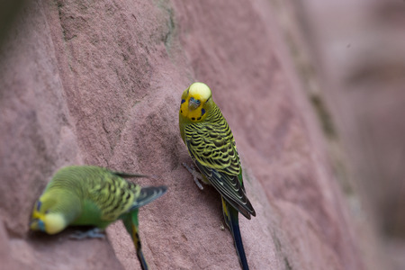 Budgies on the stone wall