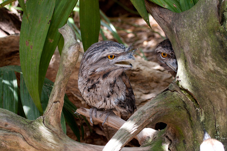 Two frogmouth on a branch