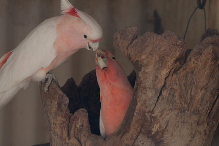 cockatoos: Galah Cockatoos couple on a branch Stock Photo