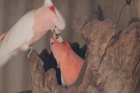 cockatoos: Galah Cacatua coppia su un ramo