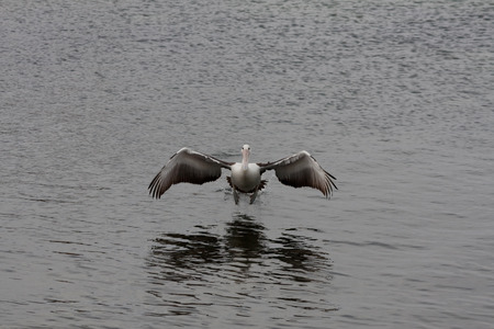 water wings: Pelican set to land in the water with open wings Stock Photo