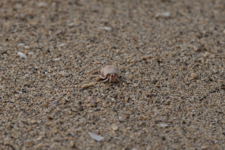 hermit crab: Hermit crab in the snail shell