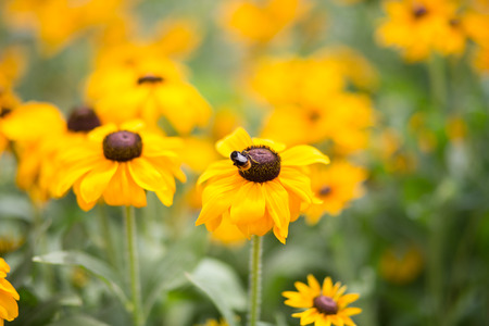 hirta: group of Rudbeckia hirta flowers. The bees fly aound and do their job. Lovely summer day Stock Photo