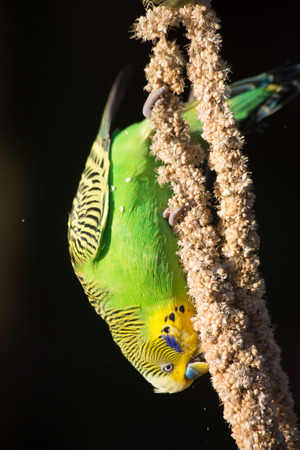 hanging around: One budgie eating seeds upside down, hanging around