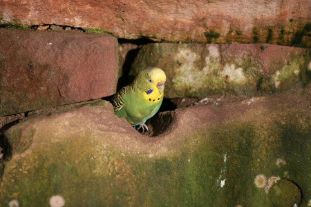 build in: Budgie look out of his cave build in a stone