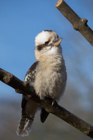 pecker: Kingfisher, Kookabura sitting on a branch and wait Stock Photo