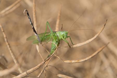 colza: Grashoper in a dry colza field, closeup