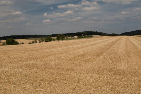 Wheat, Harvested wih tree in the backround