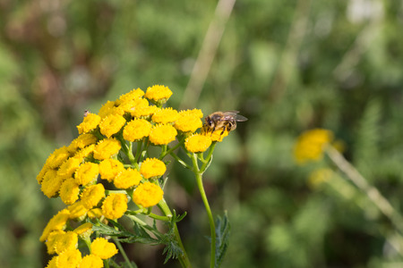 Bee doing the job on a tansy plant