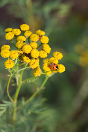 Lady beetle on a tansy flower