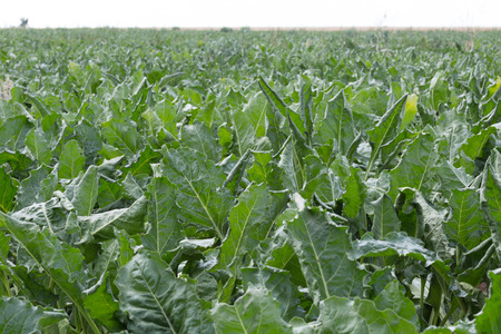 Sugar beet grow on the field 版權商用圖片