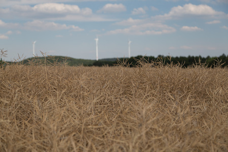 Dry colza field with windmill in thebackround 版權商用圖片
