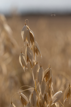Golden ears of oat. Close up of corn