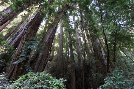 Muir Woods, group of trees