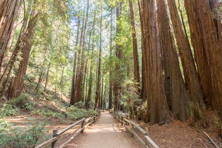 Muir Woods 版權商用圖片
