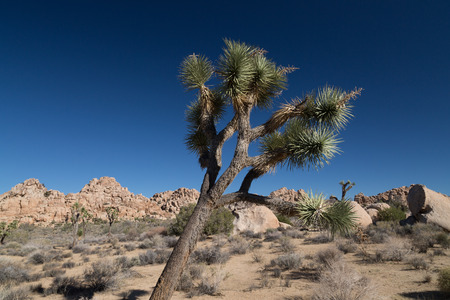 joshua: Joshua Tree in Joshua Tree National Park Stock Photo