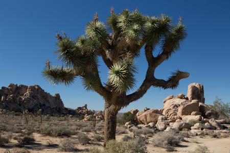 western united states: Joshua Tree in Joshua Tree National Park Stock Photo