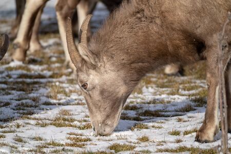 Close up of a female ewe bighorn sheep eating snow covered grass in winter 写真素材