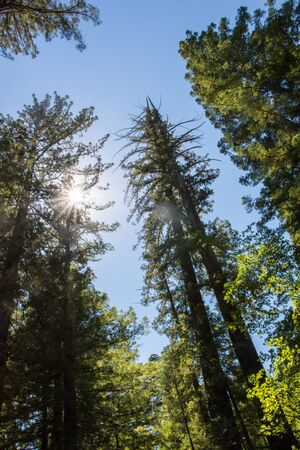 Giant Redwood tree, photo looking up at the tree, in Redwood National Park in Lady Bird Johnson Grove in Northern California, with a bright blue sky Stock Photo