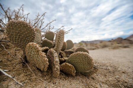 Alabama Hills Beavertail Prickly Pear Cactus Stock Photo