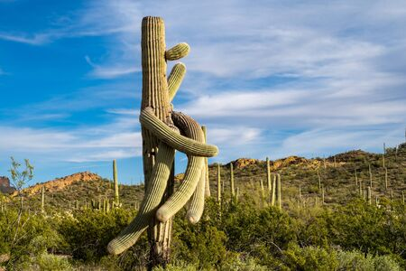 Goofy looking Saguaro cactus with twisted arms in Organ Pipe National Monument in Arizona