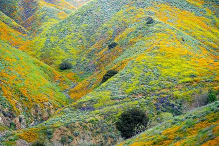 Close up of rolling hills covered in wildflowers at Walker Canyon in Lake Elsinore California during the super bloom