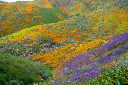Bright, colorful wildflowers cover the rolling hills of Walker Canyon during California super bloom of poppies