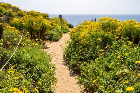 Point Dume in Malibu California leads up to a bluff overlook. Giant coreopsis Wildflowers all along the sandy trail