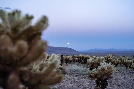 Cholla Cactus Garden in Joshua Tree National Park, at sunset, as the supermoon rises above the mountains Stock Photo