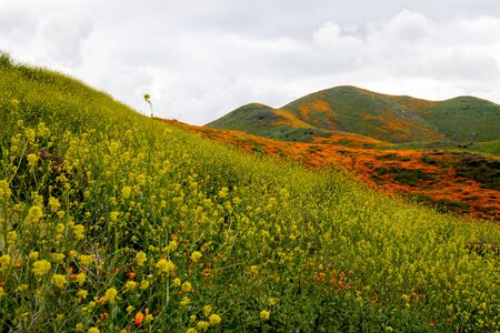 Fiddlenecks (Amsinckia) line the hills of Walker Canyon in Lake Elsinore California, during the poppy and wildflower superbloom