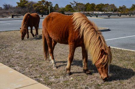 Wild feral horses roam and graze in a parking lot in Assateague Island National Park 版權商用圖片