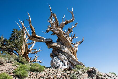 Ancient Bristlecone Pine Tree - these old trees have twisted and gnarled features. California - White Mountains