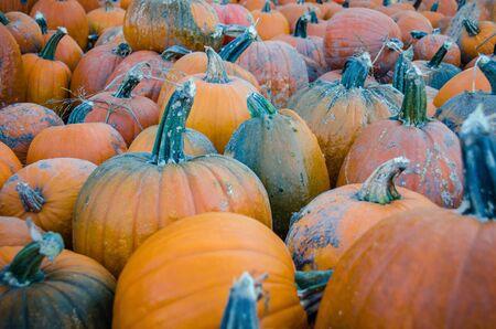 Campo de calabazas en el huerto de calabazas durante el otoño, listo para tallar. Foto de archivo