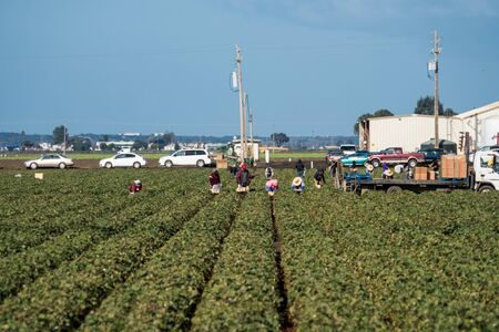 Salinas, California - October 17 2017: Immigrant migrant seasonal farm workers pick and package fruit and vegetables working in the fields of the Salinas Valley of central California. 版權商用圖片