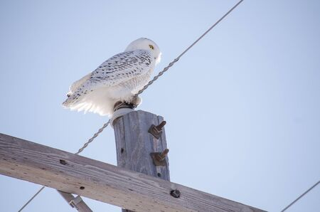 Snowy owl perched on an electrical telephone pole, looking for food. Bright blue sky