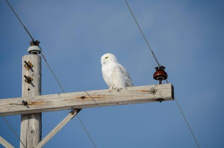 Snowy owl sits perched on a power line post looking for food in the winter