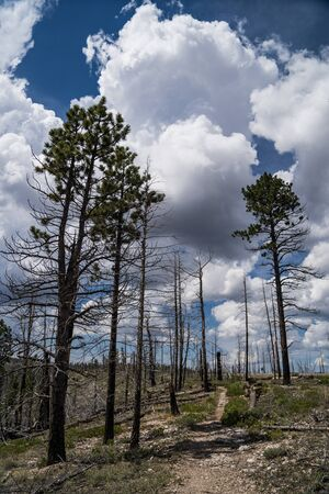 Trail in Bryce Canyon National Park leads through a burned forest of charred trees from a wildfire Reklamní fotografie