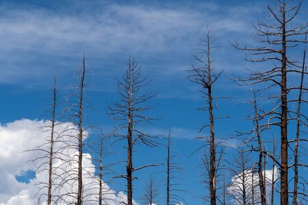 Burned, charred trees from a forest fire in Bryce Canyon national Park in Utah Reklamní fotografie