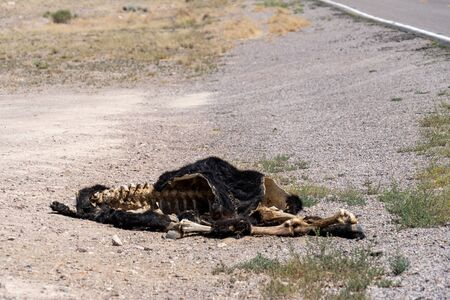 Dead cow roadkill on the side of the road (Extraterrestrial Highway open range in Nevada). Hide skin and bones on the carcass Reklamní fotografie