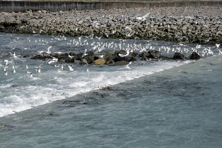 Alaskan salmon jump up the salmon fish ladder as seagulls try to feed and eat the fish during the salmon run