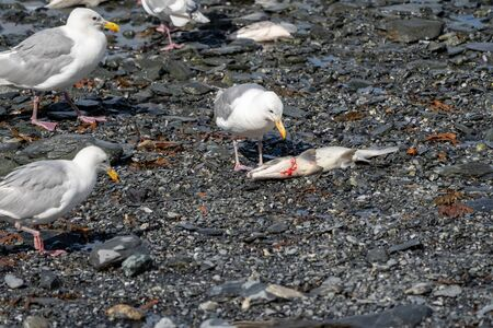 Seagull in Valdez Alaska eats a dead salmon fish as other birds look on, during the August salmon run
