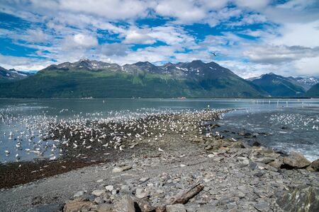 Hundreds of Alaskan seagull searching for and eating salmon during the August salmon run in Valdez, AK. A feeding frenzy