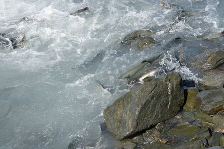 Salmon fish swimming upstream in Valdez Alaska during the August salmon run