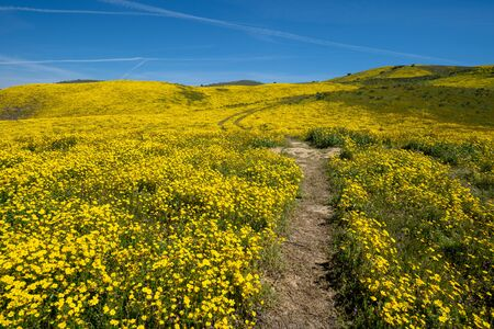Hiking trail leading up a hill filled with yellow wildflowers in Carrizo Plain National Monument during the California Super Bloom