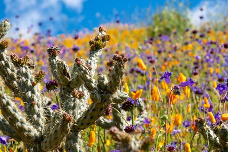 Beautiful cactus in a field of poppies and purple wildflowers in Walker Canyon California 写真素材