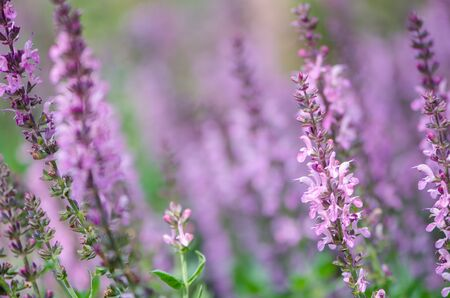 Perennial Salvia, a species of sages, also known as a purple wood sage Stock fotó
